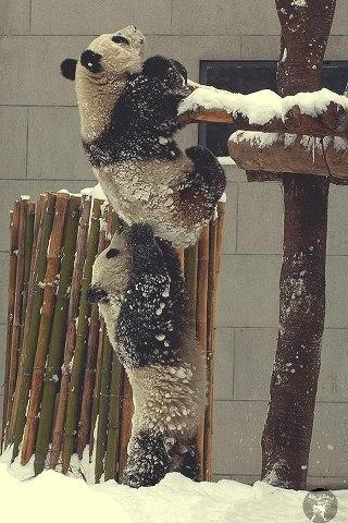 Panda Teamwork